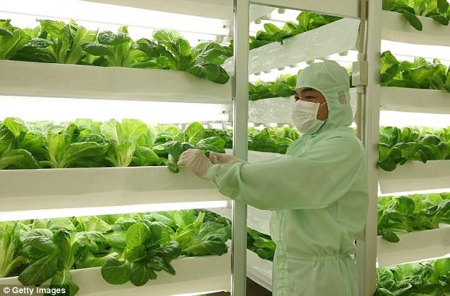 Dārzeņu audzēšana sterilos apstākļos